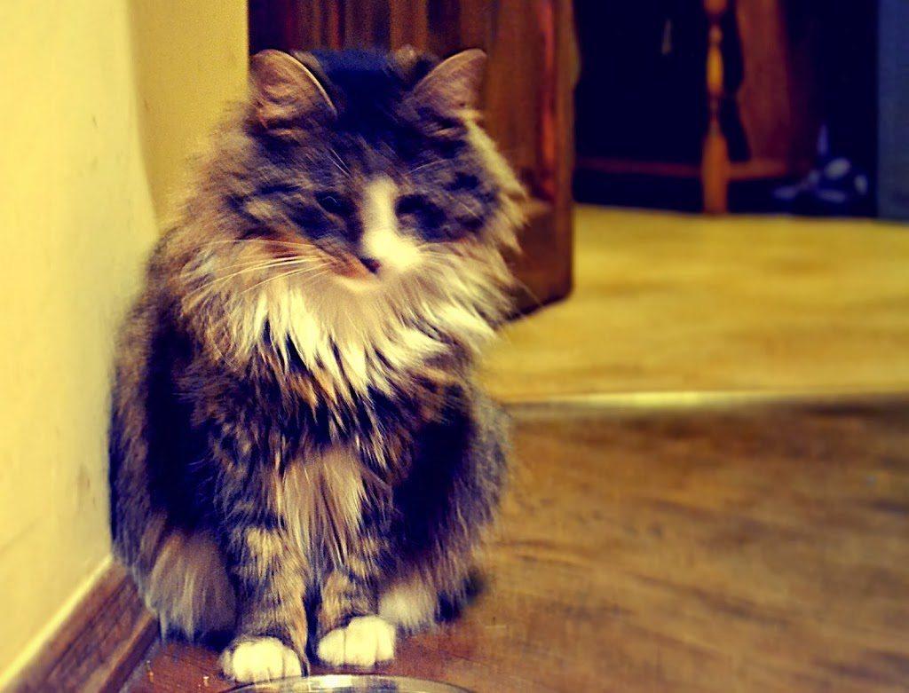 kot typu syberyjskiego