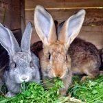 Mnożą się jak króliki…