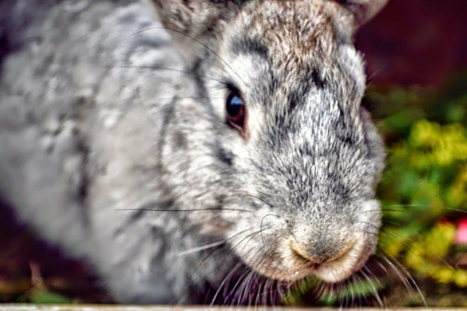 Krwiożercze króliki i wiejski styl życia